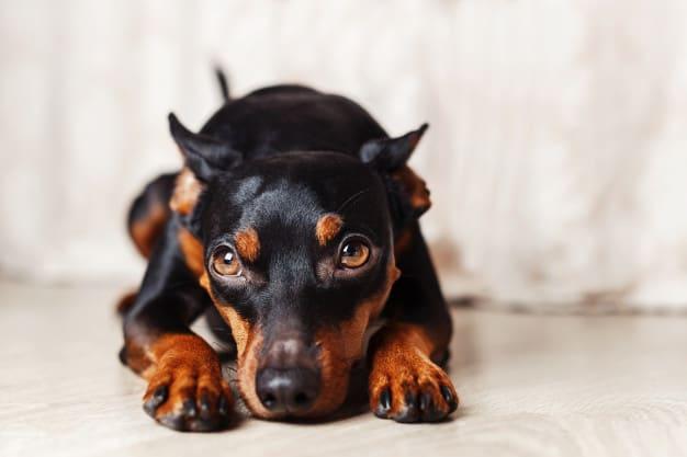 Cães preferem pessoas mais cooperativas com a comida