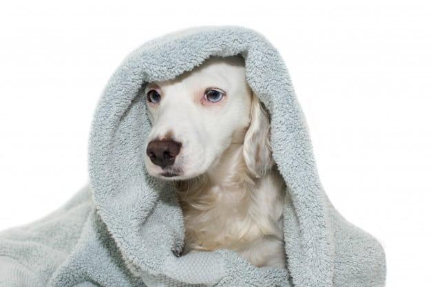 Cachorro com uma toalha na cabeça