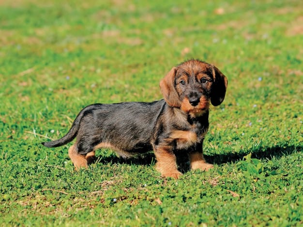 beautiful-dachshund