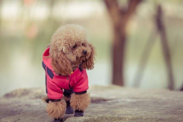 Poodle de casaco rosa