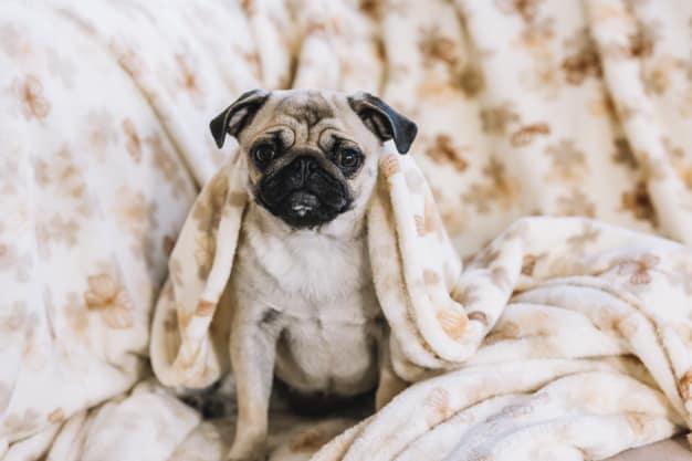 Pug sentado na cama