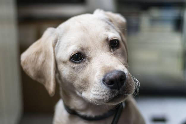 Labrador olhando para algo