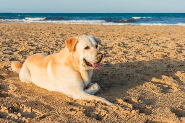 Labrador deitado na areia