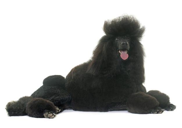 Poodle com pelos pretos deitado