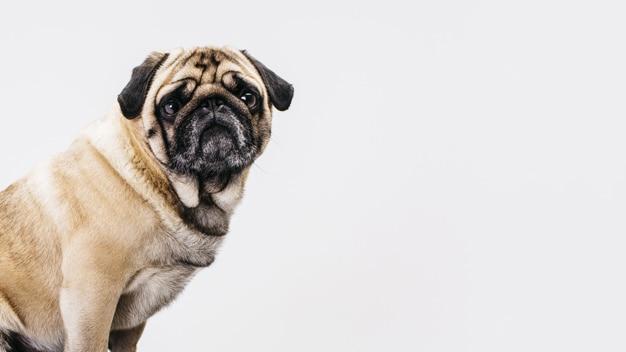 Cuidados especiais com cães de focinho achatado