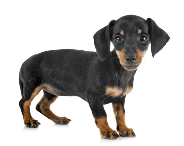 puppy miniature dachshund