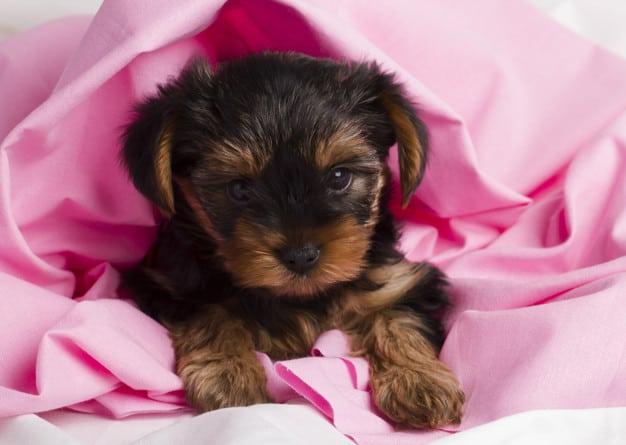 Yorkshire Terrier deitado em um lençol rosa