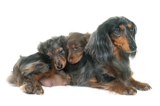 reprodução do dachshund