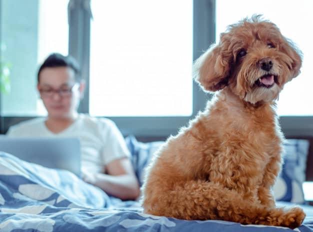 Poodle sentado na cama