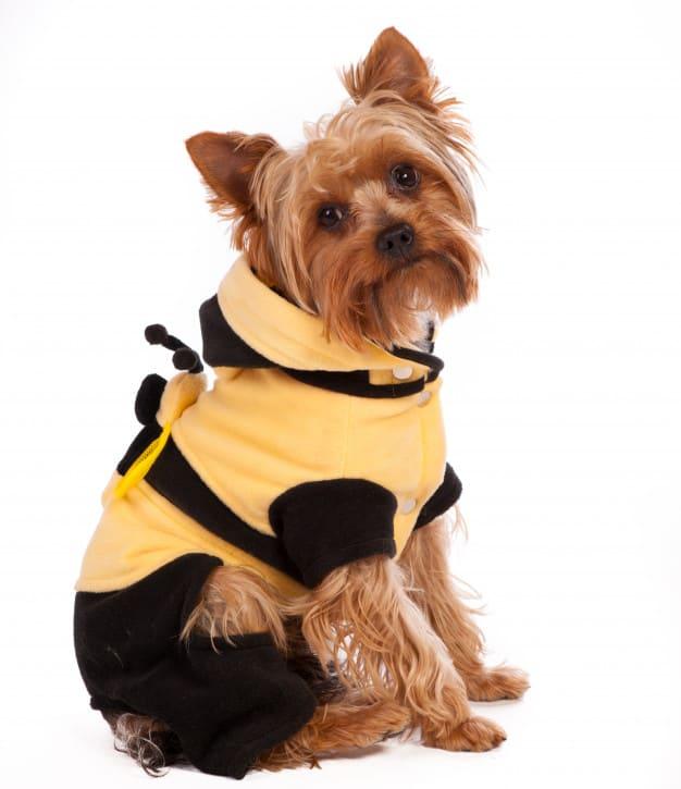 Yorkshire Terrier de roupa e olhando para o lado