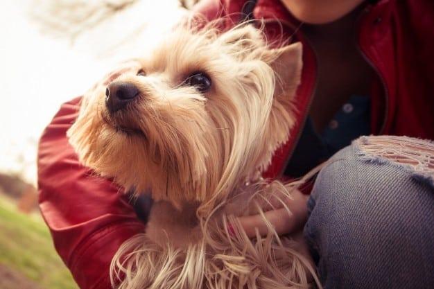 Yorkshire Terrier sendo abraçado pela mulher