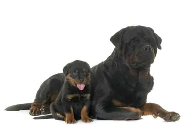 Dois Rottweilers deitados