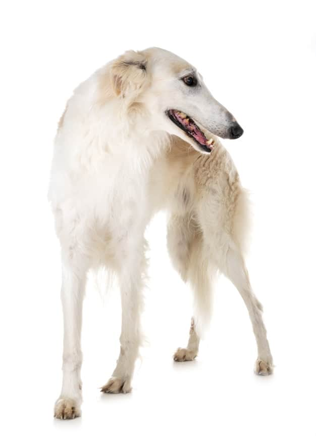 Borzói (Wolfhound)
