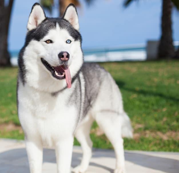 Husky Siberiano com a língua pra fora e a cor dos olhos diferentes