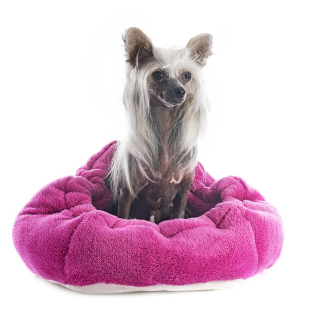 Chinese Crested Dog dentro da cama rosa
