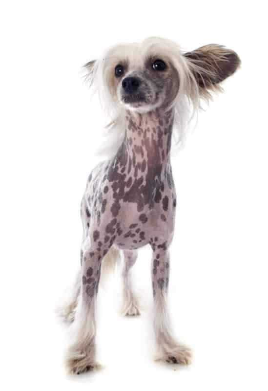 Chinese Crested Dog quase sem pelo