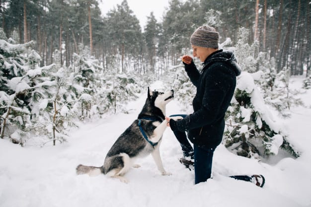 Husky Siberiano sendo treinado na neve