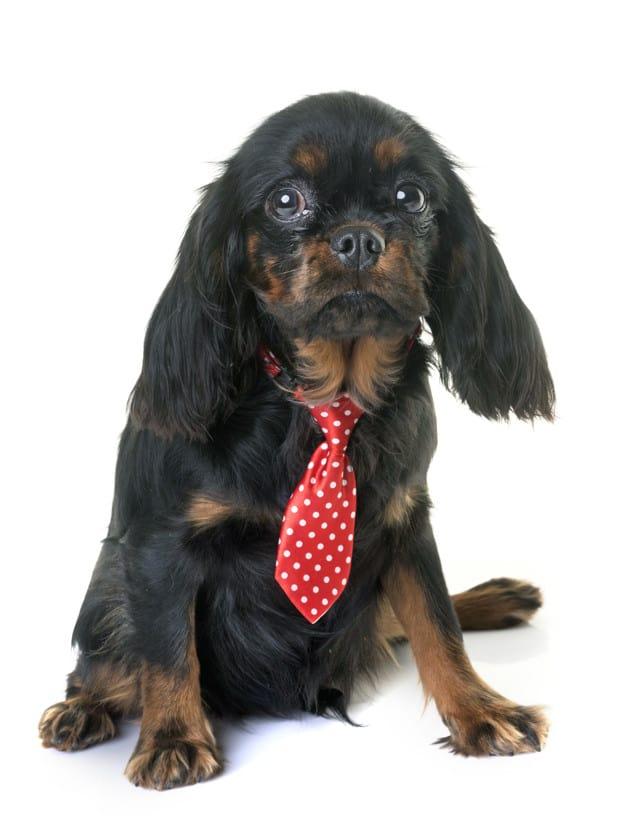 Cavalier King Charles Spaniel de gravata vermelha com bolinhas brancas