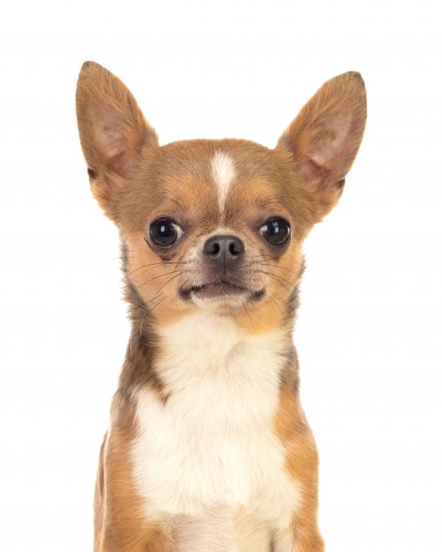 Chihuahua olhando para a foto