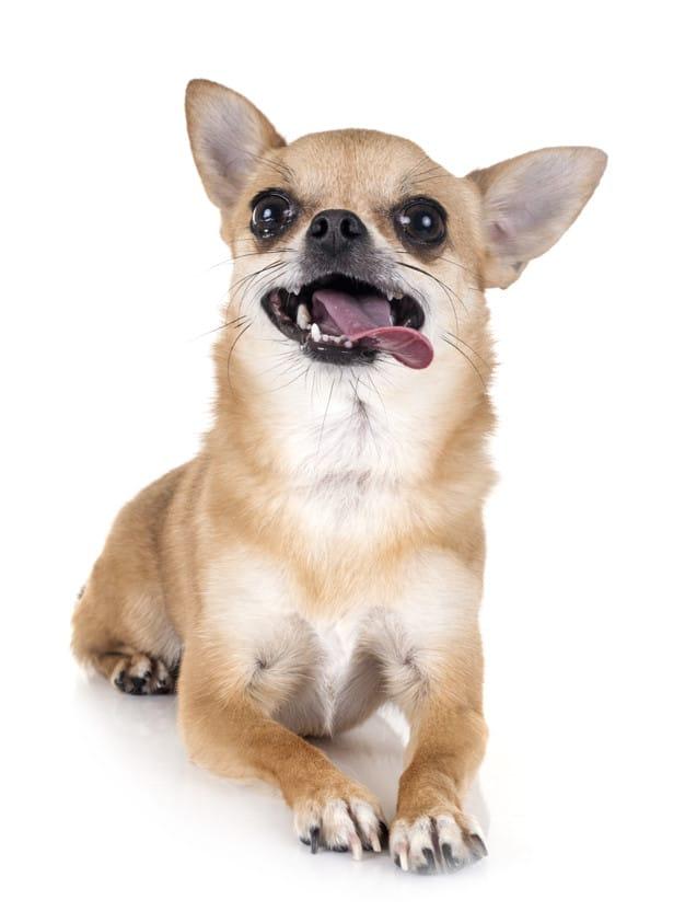 Chihuahua com a língua de fora