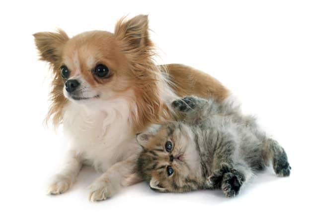 Chihuahua e um gato deitados
