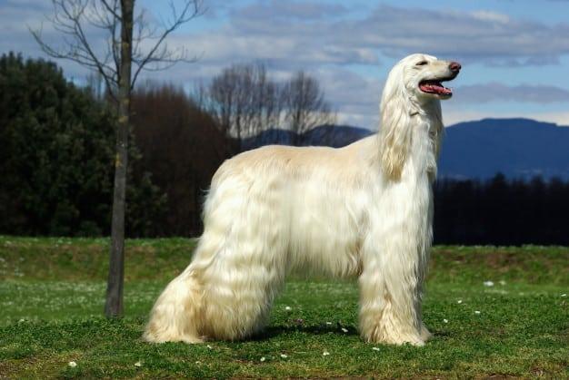 Afghan Hound com pelos brancos e compridos