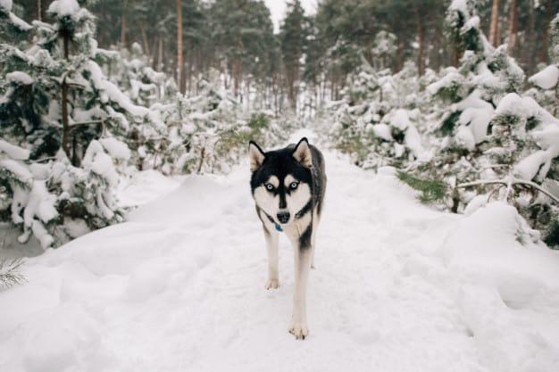Husky Siberiano andando na neve