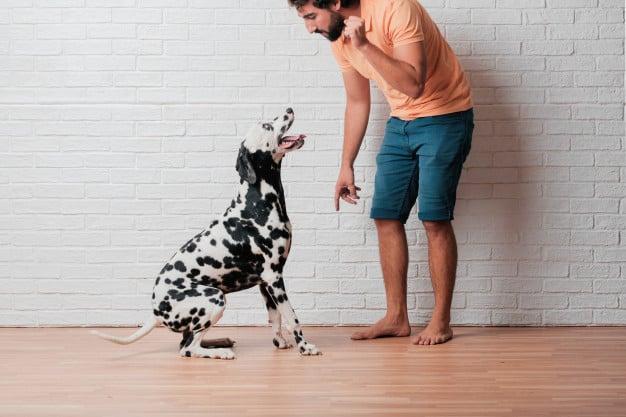Homem ensinando algo para o Dálmata