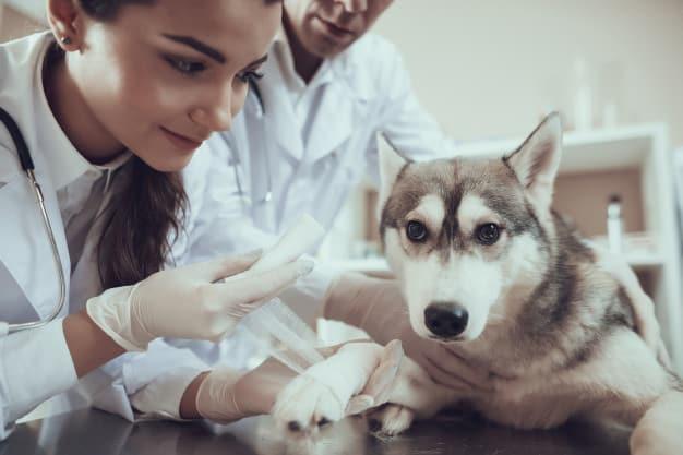 Saiba tudo sobre a falta de cálcio em cães