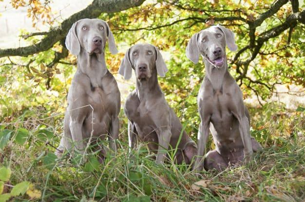 Três Weimaraner parado na floresta