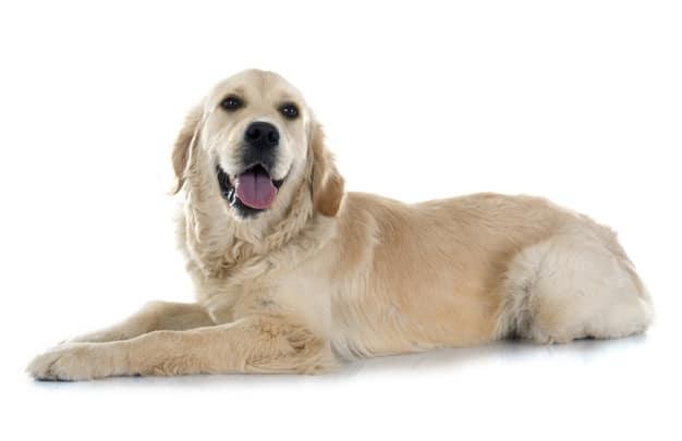 Tudo o que você precisa saber sobre um cão-guia