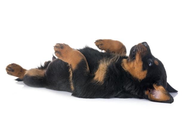 Rottweiler de barriga pra cima