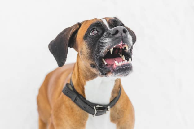 Boxer com a boca aberta