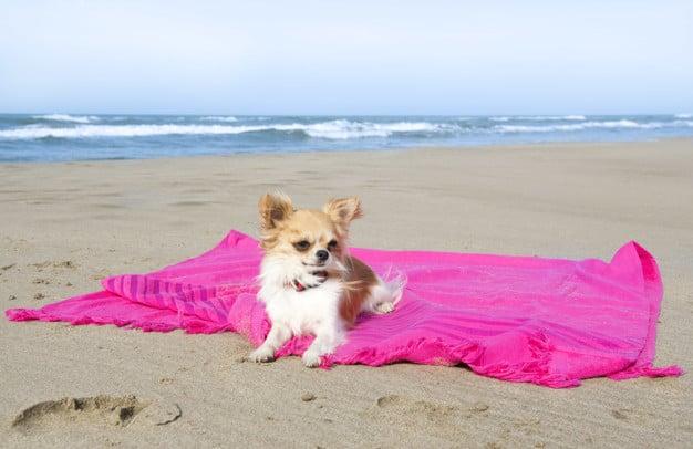 Chihuahua na praia deitado em cima da canga