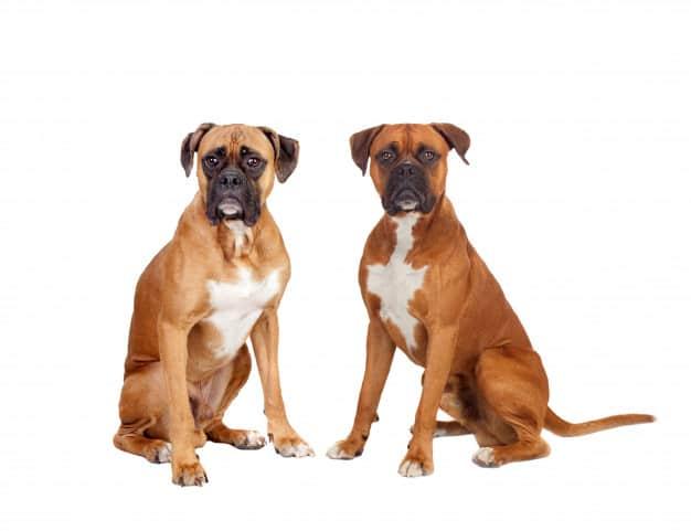 Dois Boxer olhando pra câmera