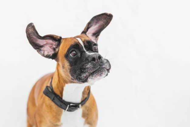 Boxer com a orelha levantada