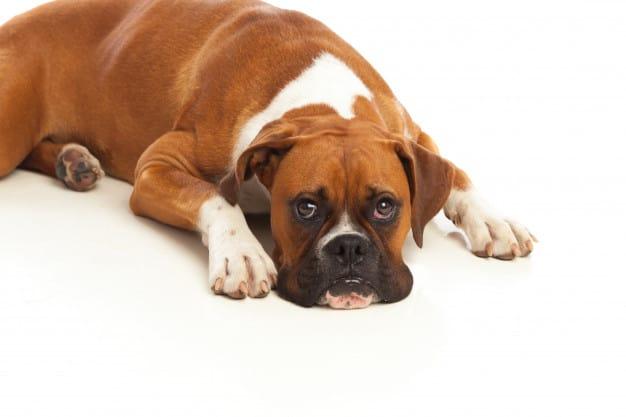 Entenda por que cães deitam no chão ao ver outro cão