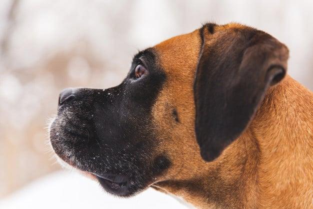 Boxer olhando para algo