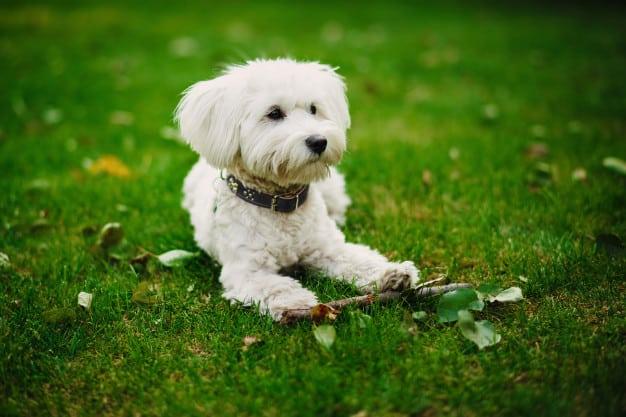 Cães de pelagem branca precisam de cuidados especiais