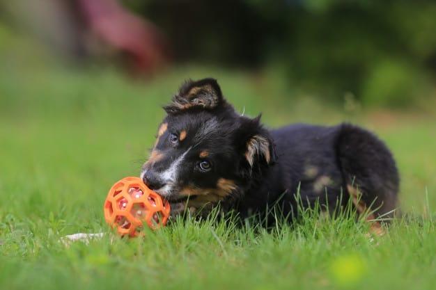 Border Collie brincando com o brinquedo no gramado