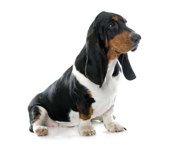 As raças de Cachorros menos Inteligentes