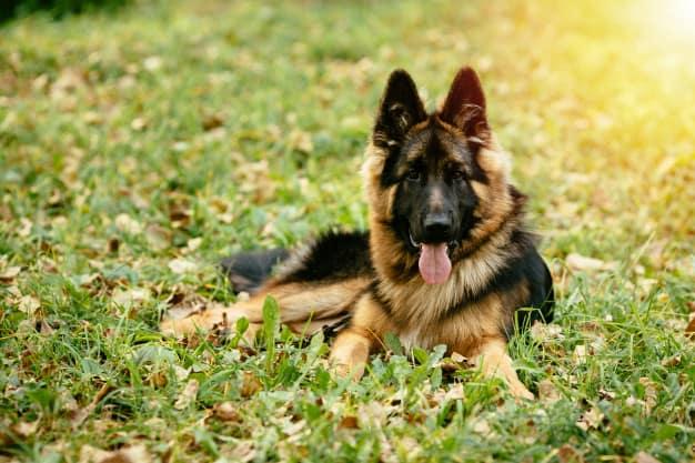 As 10 Melhores Raças de Cachorro Para a Família