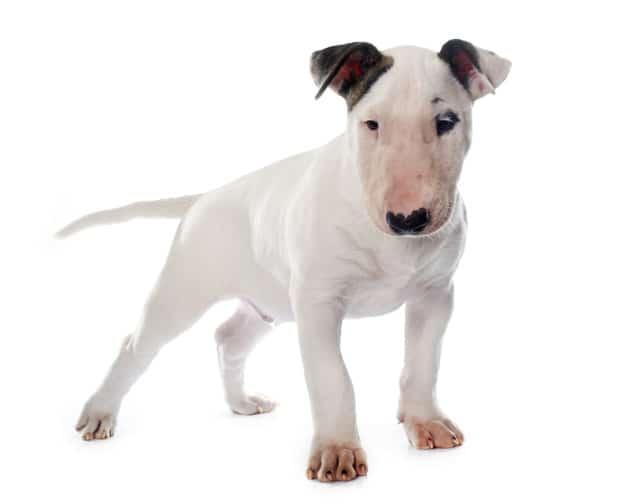 Bull Terrier - Características da raça, fotos, temperamento