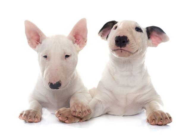 Dois Bull Terrier em fundo branco