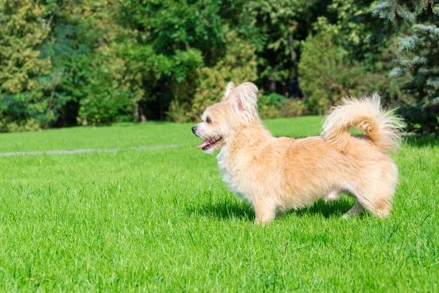 Bichon Frisé caminhando no gramado