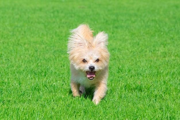 Bichon Frisé andando no gramado