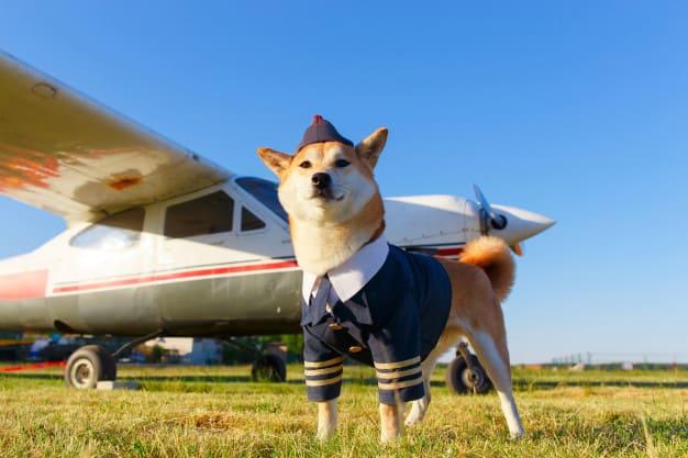 Akita Inu adulto vestido com fantasia de piloto em frente a avião