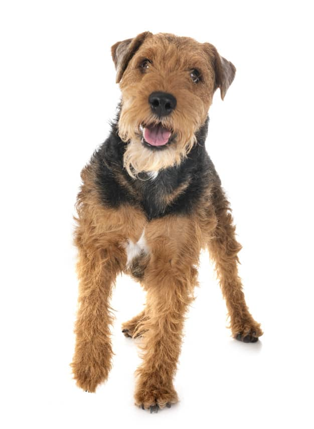 As 10 raças de cachorros mais desobedientes