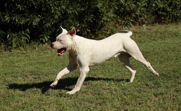 Dogo Argentino: Características da raça, fotos, temperamento e preço