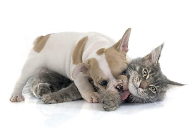 Quem é mais inteligente? Cães ou gatos?